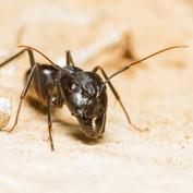 Camponotus fellah