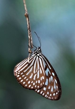 ideopsis_3