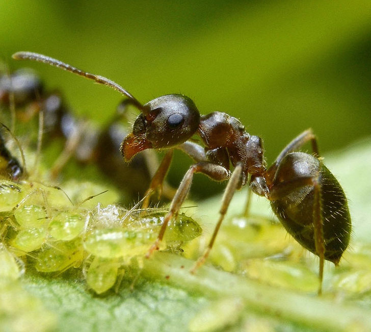 lasius niger 2