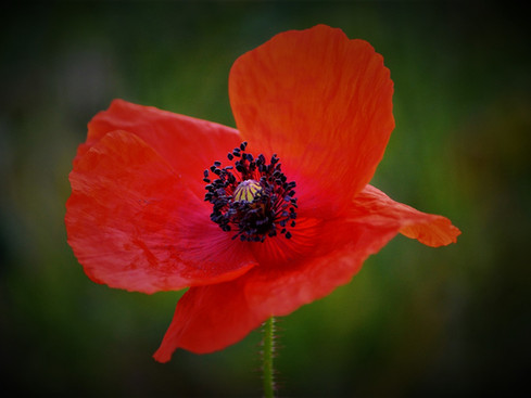 """""""Flanders Fields"""" and Red Poppies: A Still to this Day Powerful Poem and a Symbol of Remembrance"""