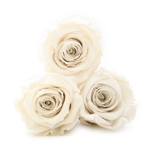 INFINITY ROSES - IVORY