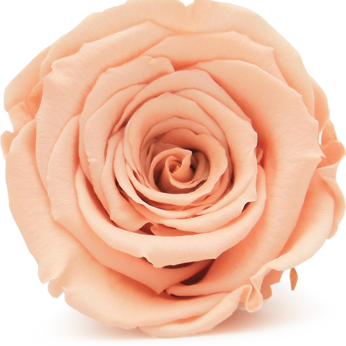PEACH ROSE REPLACEMENT