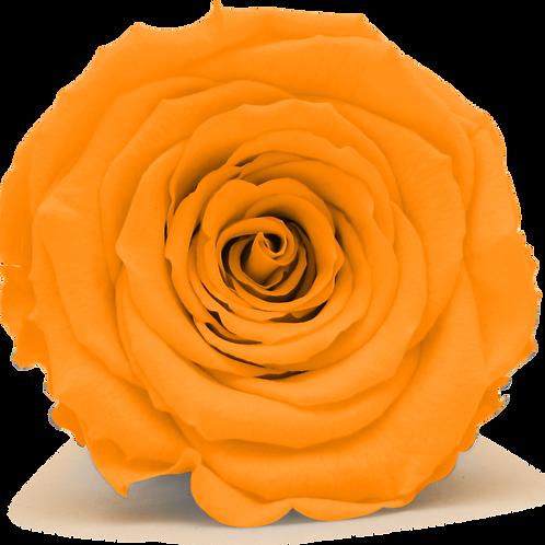 ORANGE ROSE REPLACEMENT