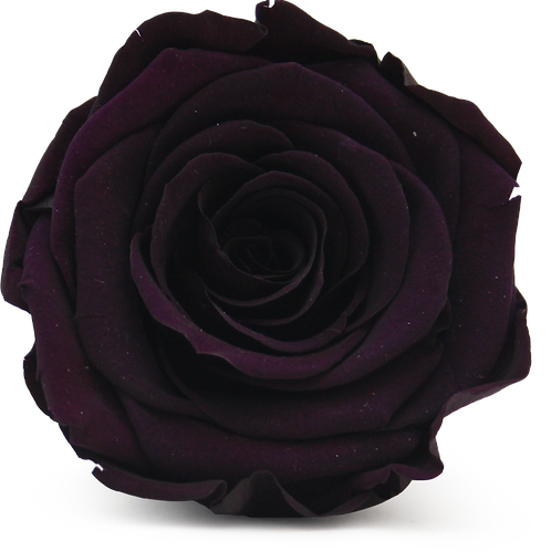 PURPLE ROSE REPLACEMENT
