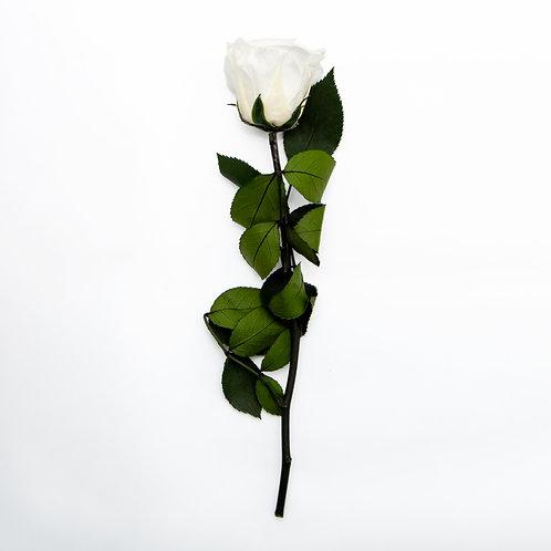 WHITE ETERNITY ROSE WITH STEM - 27.5cm