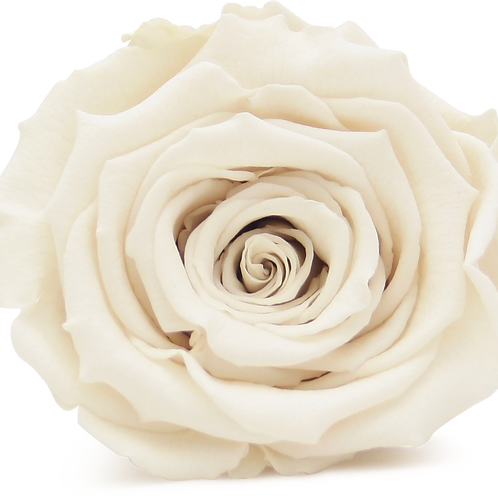 IVORY ROSE REPLACEMENT