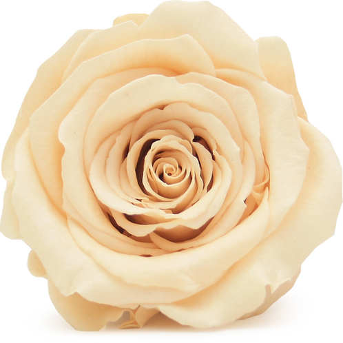 CHAMPAGNE ROSE REPLACEMENT