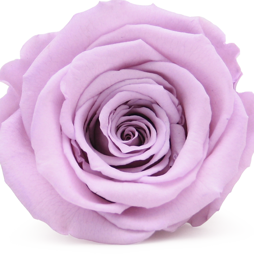 LILAC ROSE REPLACEMENT