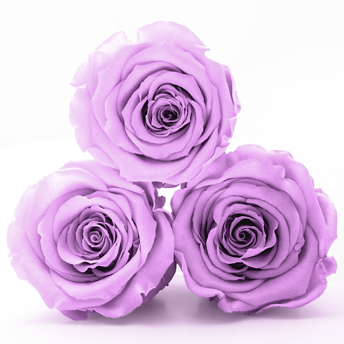 Lilac Roses that last a year