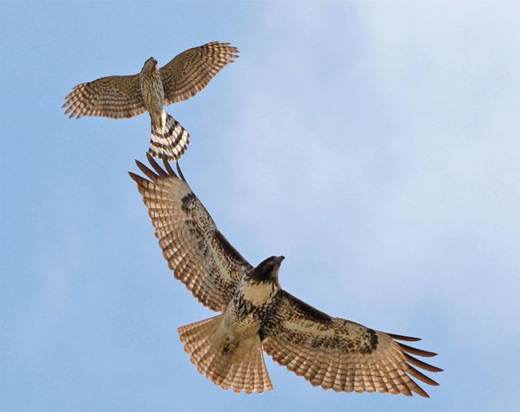 hawks1
