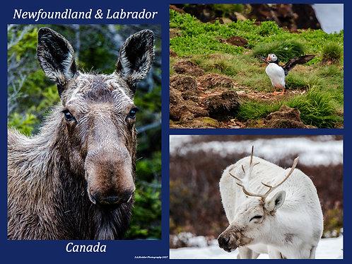 Newfoundland & Labrador Wildlife