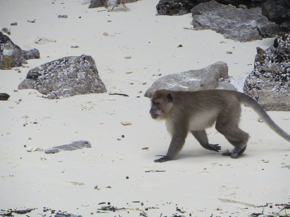 monkeys at phi phi
