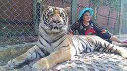 City Tour Tiger Kingdom