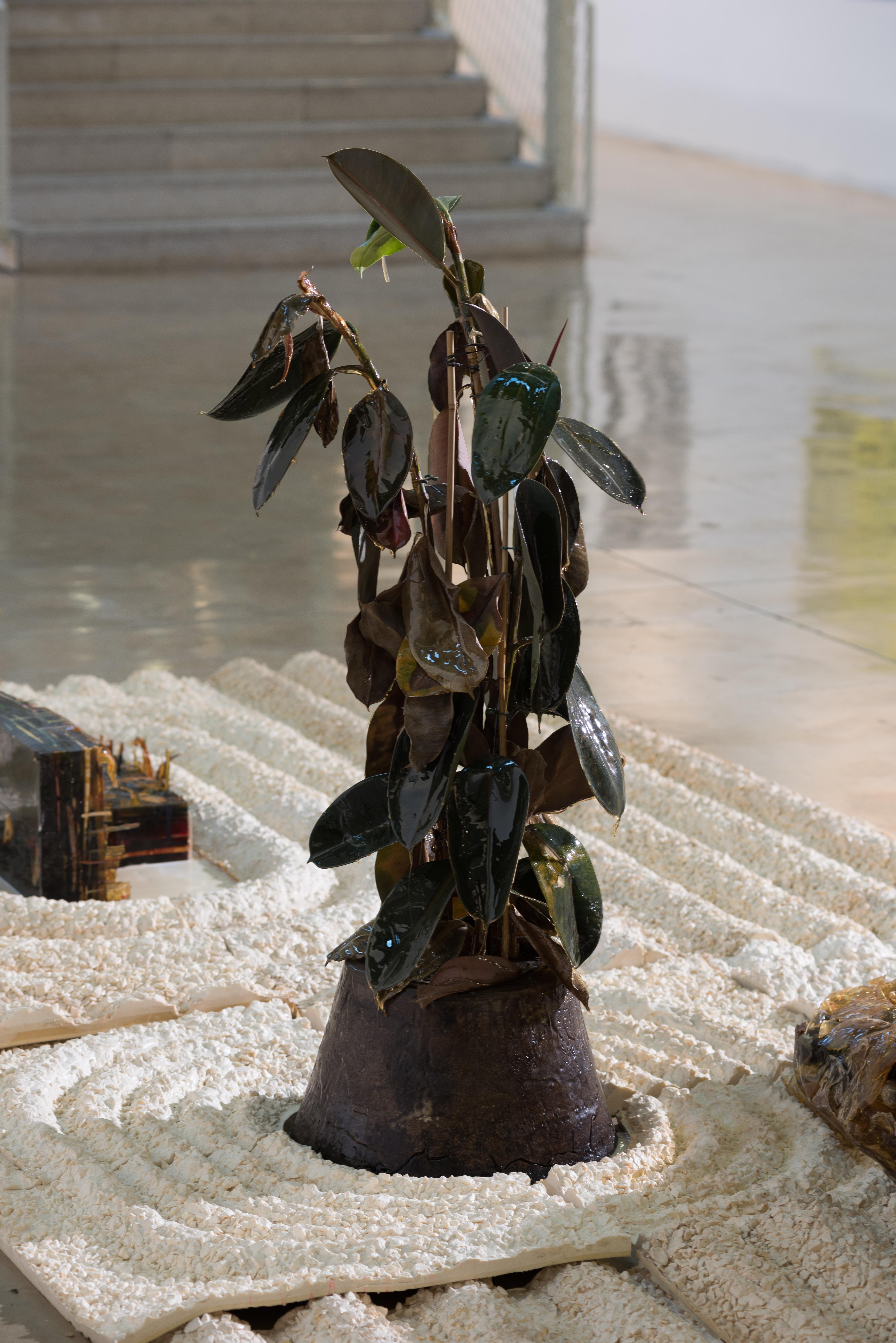 Ficus Elastica #5