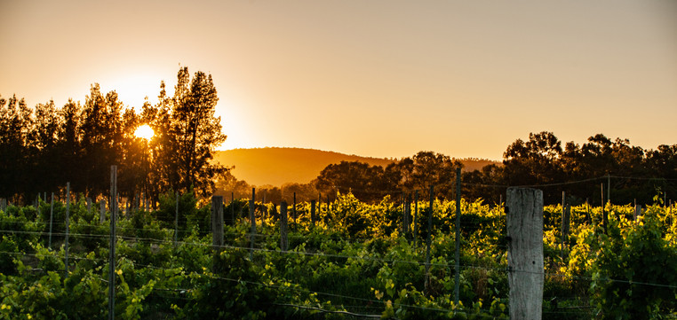 Sunrise in the vineyard
