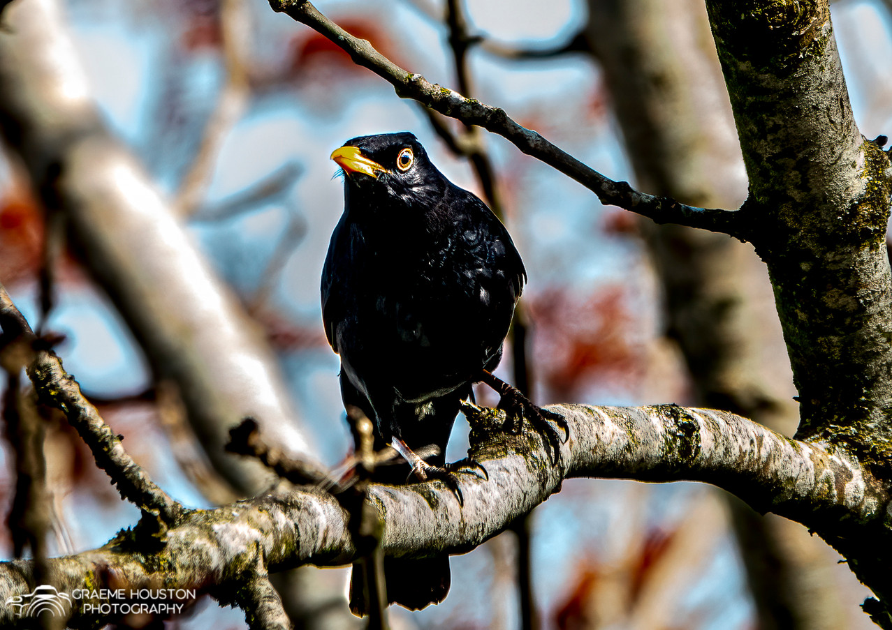 Male Black Bird