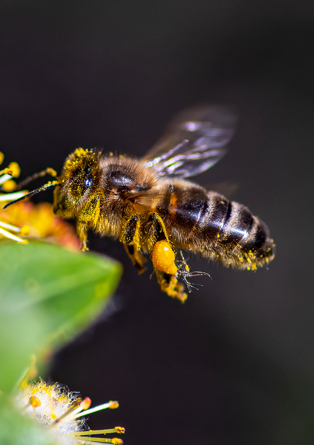 Honey Hover.