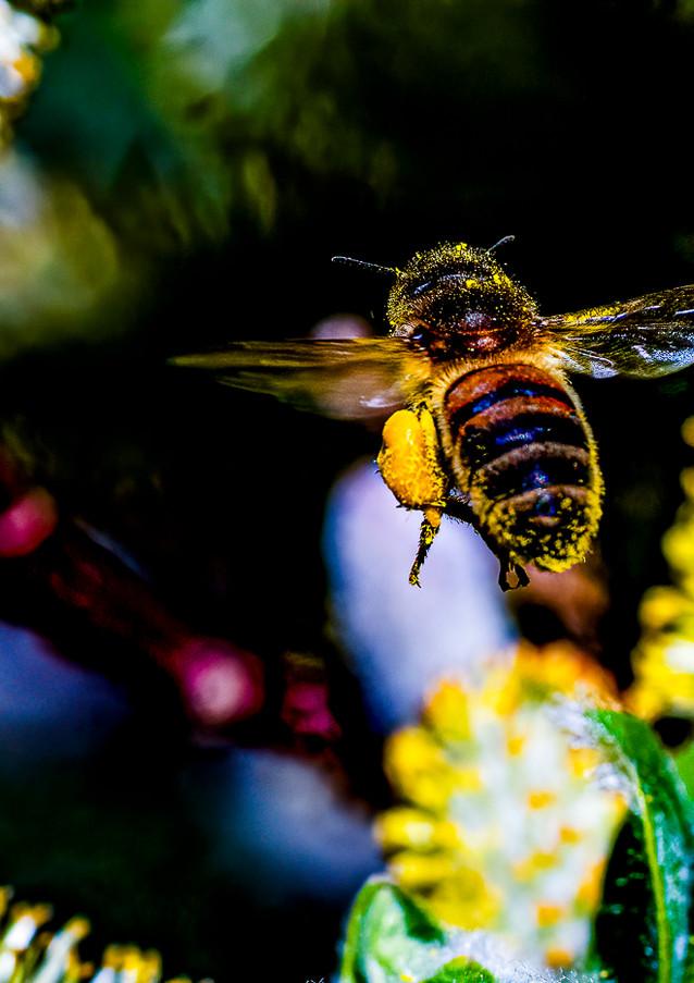 Loaded Honey Bee