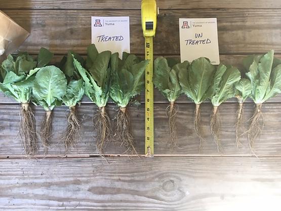 lettuce-1.png