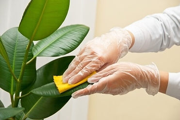 cleaning_a_rubber_plants_leaves.jpg