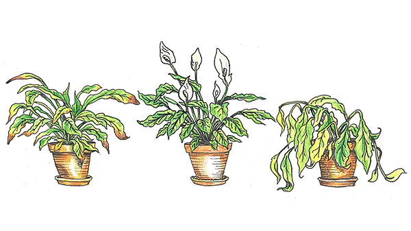 Signs-Of-Over-Watered-Houseplants-2.jpg