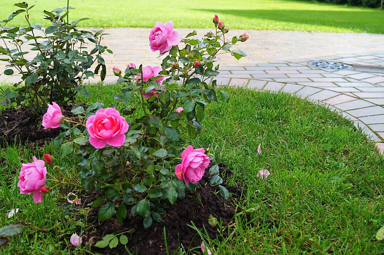 розарий посадка роз