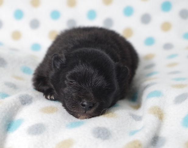 Pomeranian puppy teacup puppy pom