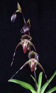 20213795 Paph. Hilo Black Eagle 'OrchidF