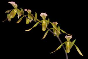 Paph.Puppentanz 'OrchidFix'