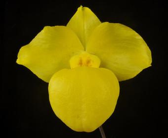 Paph.armeniacum 'OrchidFix Golden Orb'