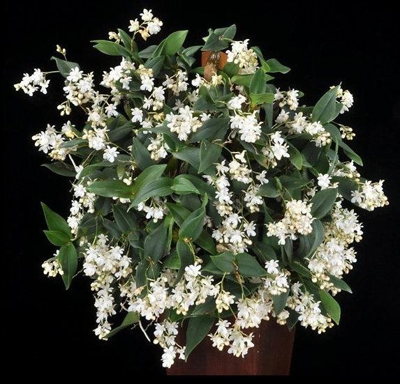"""Dendrobium aberrans- 2"""" Pot"""