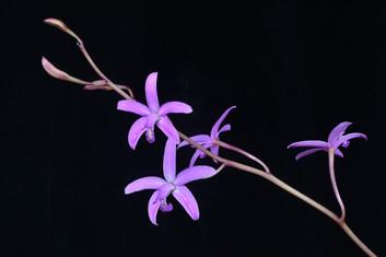 20213736 C. caulescens 'Orchid Fix' HCC-