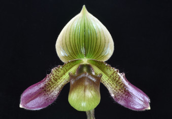 20213777 Paph. Shirley Amundson 'Orchid