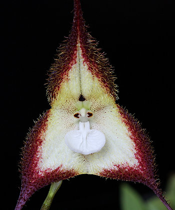 """Dracula cordobae- BS 3"""""""