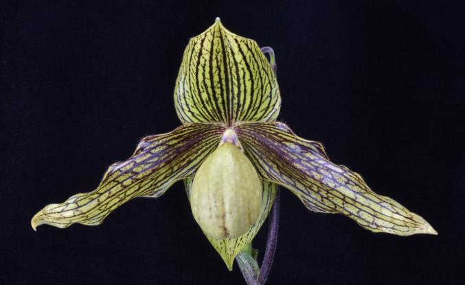 20213791 Paph. Harold Koopowitz 'OrchidF