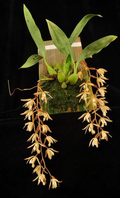 20193197 Coel. buennemeyerii 'Orchidfix'