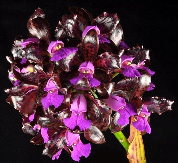 "C.tigrina 'Voodoo Queen' x self- 2"" pot"