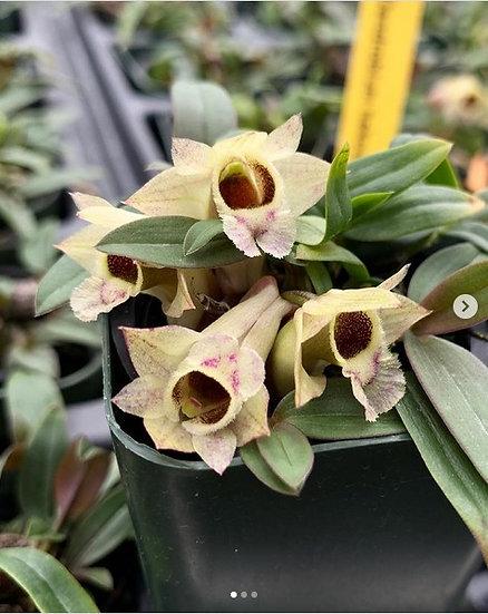 """Dendrobium hekouense- 2"""" pot"""