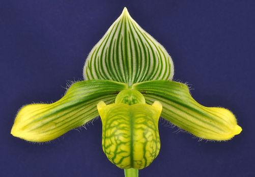 venustum fma.measurianum  'Antidisestabl