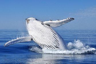 Avistamiento de Ballenas en Islandia - Avistamiento Ballenas Húsavík