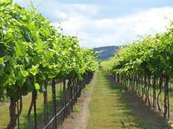 vineyardrow