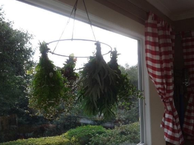A batch of home-grown herbs drying