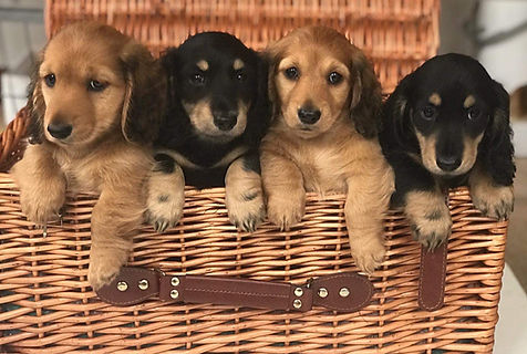 George's puppies.jpeg