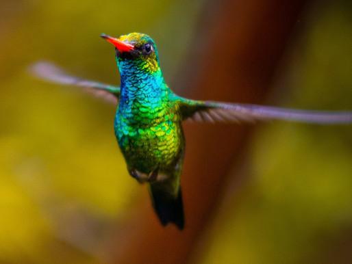 Hail the Hummingbird