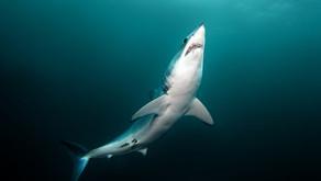Över en tredjedel av hajarna på väg att dö ut