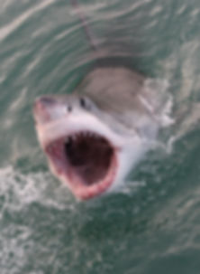 great white shark, Carcharodon carcharia