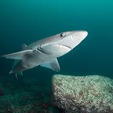 Curious Shark.jpg