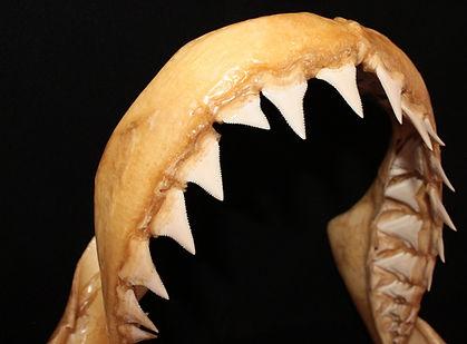 Vithajens tänder