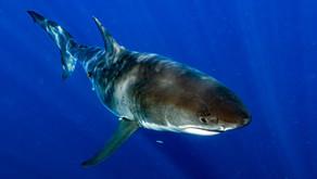 Är tonfiskens återkomst den samma som vithajens?