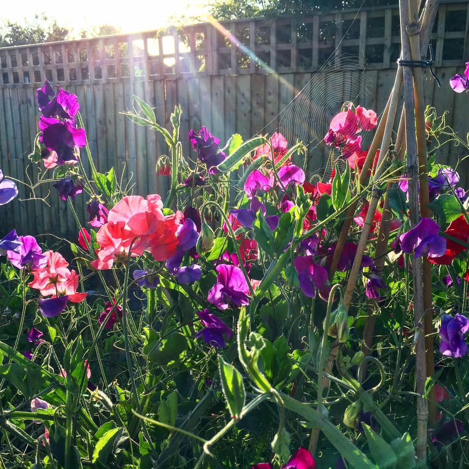 Sweetpeas glowing in the sun